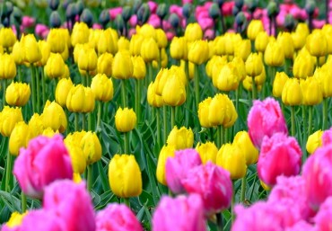 The-parade-of-tulips-in-Nikitsky-Botanical-garden-of-Crimea-14